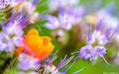 Gerbera Phacelia Flowers Wallpaper