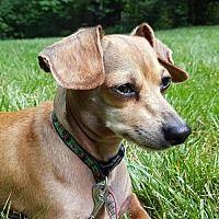 Columbia, Tennessee - Dachshund. Meet Maggie