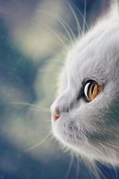 Sehr schöne Katze - Les plus beaux chats Cute Baby Cats, Cute Cats And Kittens, Cute Baby Animals, I Love Cats, Kittens Cutest, Animals And Pets, Funny Animals, Animals Images, Wild Animals