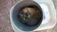 "This Rock Hyrax was found wondering the areas near the Wolf Sanctuary before Knysna.  Her overall condition seems fine and we could find nothing wrong with her.  She is responding very well and soon will be released.  Did you know: Apparently according to ""Wikipedia"", unique to hyraxes is the dorsal gland, which excretes anodourused for social communication and territorial  marking. Knysna, List Of Animals, Communication, Wolf, Wildlife, Unique, Wolves, Communication Illustrations"