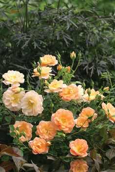 Oso Easy Peachy Cream rose - beautiful, disease resistant, and super hardy to USDA Zone 3