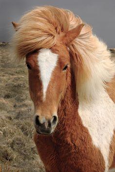 MaíSól Icelandic horse (MaySun) by Anna Guðmundsdóttir on 500px