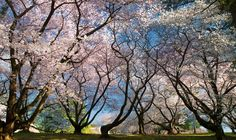 Longwood Gardens. Cherry blossoms