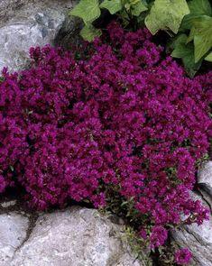 Pergola Over Front Door Code: 3150115002 Pergola Swing, Deck With Pergola, Pergola Patio, Purple Perennials, Creeping Thyme, Annual Plants, Flowering Trees, Dream Garden, Amazing Flowers