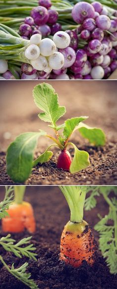 Growing root vegetables