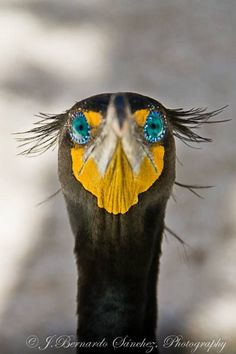 Doble cormorán crested. Terrenos pantanosos cubiertos de hierbas altas Parque Nacional, Fl