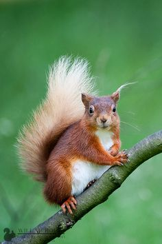 True Blonde - A portrait of a blonde tailed red squirrel by Will Nicholls Squirrel Pictures, Animal Pictures, Beautiful Creatures, Animals Beautiful, Animals And Pets, Baby Animals, Wild Animals, Squirrel Tattoo, Cute Squirrel