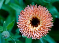 Must have must grow herbs www..homesteadlady.com - Kelly Biscotti's great article Growing Calendula in your garden