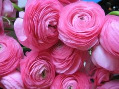 Pink ranunculas...used these for my Thanksgiving tablescape