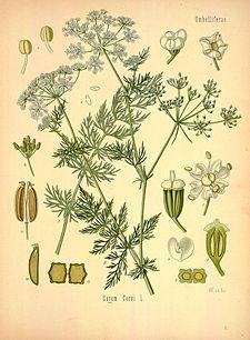 Тмин обыкновенный  Köhler's Medizinal-Pflanzen in naturgetreuen Abbildungen mit kurz erläuterndem Texte (Plate 91) (8231711713).jpg