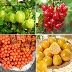 120PCS Red Currant Fruit Plant Pan-American Gooseberry Seeds Lantern Fruit Seed Physalis Seeds Landscape Plant For Home Garden