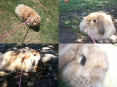 You might have seen some cute pictures of bunnies walking on leashes, and wondered if you could do the same with your rabbit. You can, but there are a few points that must be noted and steps that must be taken before you can do it safely. Firstly,...