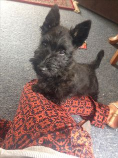 Scottish Terrier Puppy. First day at home