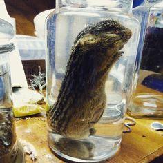 13 lined ground squirrel wet specimen at Wunderkammer Curiosity Shoppe