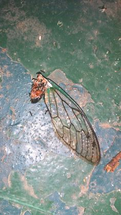What the hell ate this cicada?