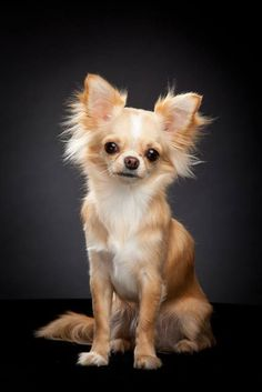 """I wuff you...do you wuff me?""... #Chihuahua beauty found on fundogpics.com"