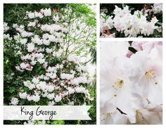 Rhododendron 'King George'  #gardening #flowers #plants