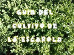 Guia del cultivo de la escarola (tuhuertofacil.es)