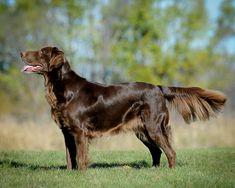 """Flat-Coated Retriever. Antiguamente, todos los perros de caza que se utilizaban para cobrar eran llamados """"Retriever"""". Así pues, los Spaniel, los Setter o los Bracos estaban incluidos en el mismo saco. La mayoría de los cruces se hacían en función de las características que más destacaban en cada perro y de esta manera, se intentaba crear a un perro superior. Debido a los cruces un poco al azar, el origen de estos perros es incierto."""