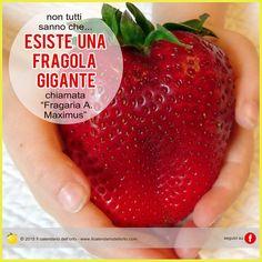 "Esiste una fragola gigante chiamata ""Fragaria A. Maximus"""