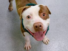 Manhattan Center -P  My name is PRINCE. My Animal ID # is A1005167. I am a male brown and white pit bull mix. The shelter thinks I am about 1 YEAR 5 MONTHS old.  I came in the shelter as a STRAY on 06/30/2014 from NY 10475, owner surrender reason stated was ABANDON.  Killed.