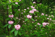 Rhododendron Macrophyllum | Colorful photos of the Rhododendron flowers