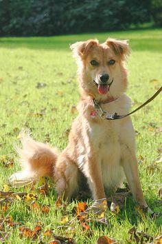 Basque Shepherd Dog