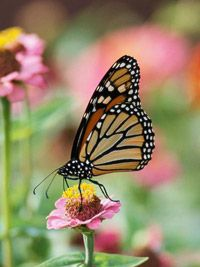 Zinnias, of course!   Best Plants for Butterflies for Midwest Gardens