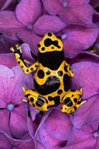 Photographic Print: Bumble Bee Dart frog by Adam Jones : Cute Reptiles, Reptiles And Amphibians, Frosch Illustration, Frog Habitat, Frog Tank, Frog Species, Amazing Frog, Poison Dart Frogs, Blue Poison Dart Frog