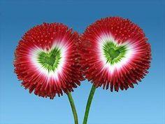 Çiçek kalpler . Hearts In Flowers.