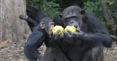 03/05/16 ABANDONED ONE YEAR AGO TODAY : Today marks the one year anniversary of when New York Blood Center ended all support for more than 60 chimpanzees in Liberia after using them in brutal, invasive research for over 30 years. Despite worldwide outcry and extensive media coverage, NYBC shows no signs of owning up to their responsibilities. Learn how you can help…..