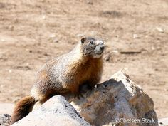 Yellow-bellied marmotYellow-bellied marmots spend about 80% of their life in their burrow, 60% of which is spent hibernating. They often spend mid-day and night in a burrow as well. These burrows are usually constructed on a slope, such as a hill, mountain, or cliff.