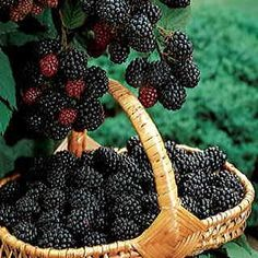 Big promotion 100 Thornless Blackberry Seeds Perennial Garden or Pot Fruit Fruit And Veg, Fruits And Vegetables, Fresh Fruit, Colorful Fruit, Beautiful Fruits, Delicious Fruit, Fruit Trees, Cranberries, Food Art