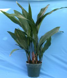 Aspidistra-Cast Iron Plant - good potted plant for shade.