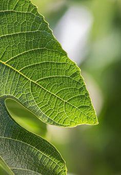 ᙢᏋяⱴᏋįℓℓɛųᎦɛ Ꮳяєαɬįσи (Leaf detail by Filip Trinajstic). Fig Leaves, Green Leaves, Plant Leaves, Dream Garden, Garden Art, Glass Garden, Fotografia Macro, Natural Structures, Fig Tree