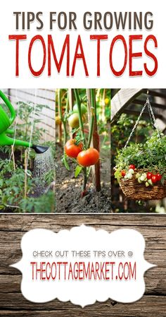 Tips for Growing Tomatoes {Tomato Garden Tips} - The Cottage Market #Gardening, #TipsForGrowingTomatoes, #GardeningTips