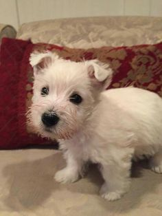 West Highland Terrier-Baby❤❤❤