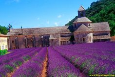 Tha Lavender Field At The Abbey Of Senanque