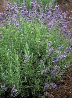 Lavender : It has antiseptic and anti-inflammatory properties. Crush a handful of the heads and add to a bowl of boiling water to use as a steam bath for your face. You can also dab the oil from the flowers on blemishes. Used in MANY topical beauty applications (soap, lotion, etc.)