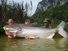 BIG FISH - This mekong catfish weighs and is long Big Catfish, Catfish Fishing, Salmon Fishing, Fishing Times, Gone Fishing, Cat Fishing, Fishing Boats, Pisces, Monsters