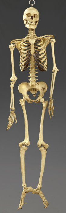 image result for real human skeleton | human bones | pinterest, Skeleton
