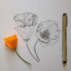 Image result for antiqueillistration of california poppies