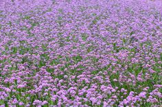 LSU names Homestead Purple verbena a Louisiana Super Plant: 6 reasons why | Louisiana gardeners love verbena for its showy flower clusters, which bloom throughout a long growing season.