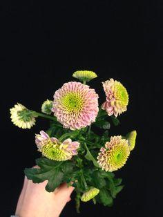 Krysantemum - Chrysantemum