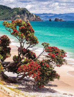 A Pohutukawa tree in full bloom - the sign of Christmas in NZ : New Zealand Beach, New Zealand Travel, Beauty Around The World, Around The Worlds, Working Holiday Visa, New Zealand Landscape, Blooming Trees, Colorful Trees, Water Flowers