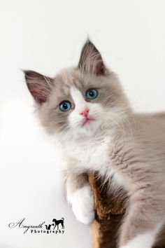 :: Ragdoll Kitten Cinder :: by AmyranthPhotography on deviantART