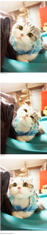 Scottish fold kitty