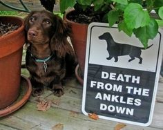 death ankles down dachshund Funny Dog Signs, Funny Dogs, Cute Dogs, Funny Animals, Cute Animals, It's Funny, Funny Fails, Funny Stuff, Dachshund Funny
