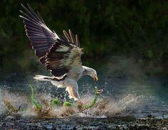 Bald eagle and snake
