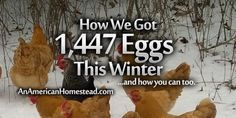 How We Got 1,447 Eggs This Winter…And How You Can Too | An American Homestead – Living Off Grid in the Ozark Mountains